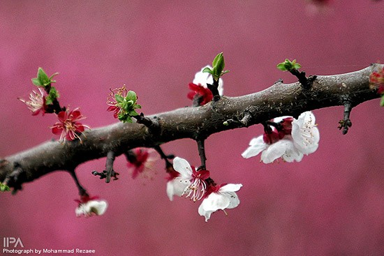 Spring-blossoms-in-Sari-Iran-698