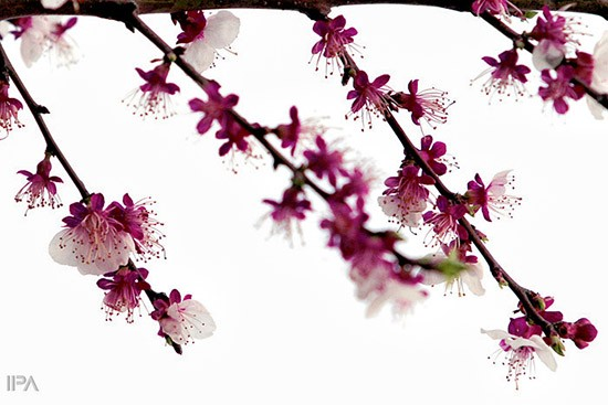Spring-blossoms-in-Sari-Iran-700