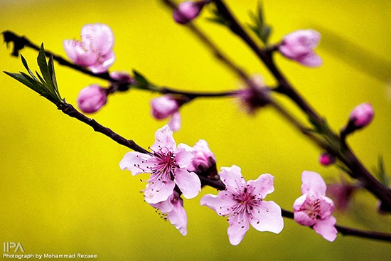 Spring-blossoms-in-Sari-Iran-703