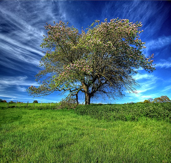 8- Apple tree - 1460 views, 29 favorites