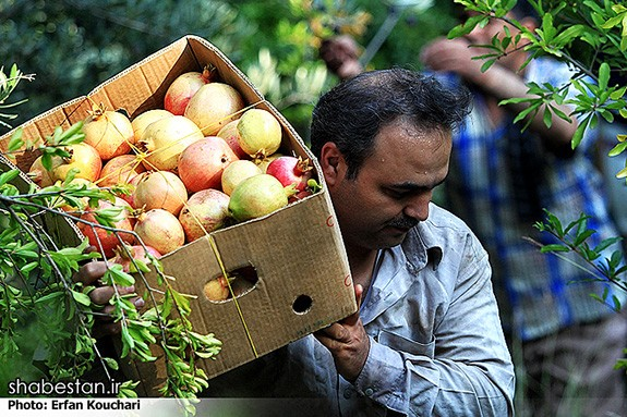 Harvesting-Pomegranate-in-Sangan-Village-Iran-3718