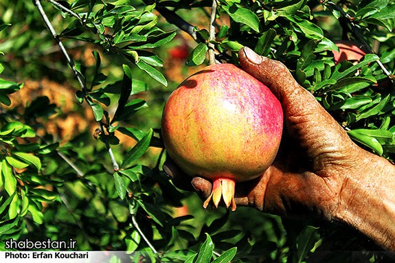 Harvesting-Pomegranate-in-Sangan-Village-Iran-4999