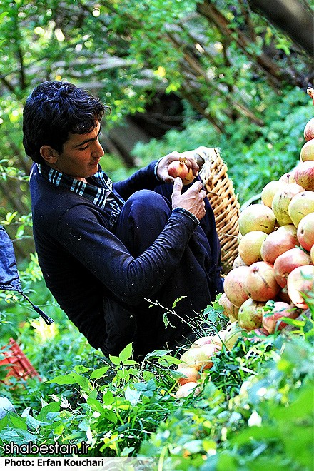 Harvesting-Pomegranate-in-Sangan-Village-Iran-9009